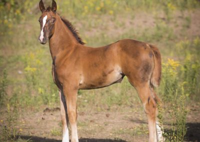 Vogue Filly For Sale