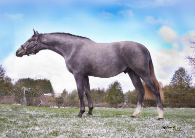 "2 year old stallion ""SVF Rendezvous"""